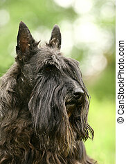The Scottish Terrier (also known as the Aberdeen Terrier), popularly called the Scottie, is a breed of dog best known for its distinctive profile and typical terrier personality.