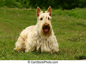 The Scottish Terrier (also known as the Aberdeen Terrier),...