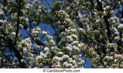Flowering tree - Blossoming tree with white flowers
