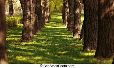 Alley trees - Avenue of trees with powerful trunks and green...