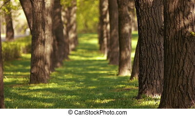 Avenue of trees with the focus on the first tree trunk