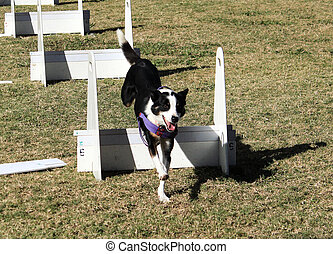 Dog racing agility course jumps - Black and white pet dog...
