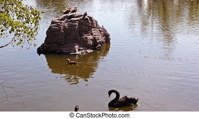 Black swans swim in the pond of the Moscow zoo
