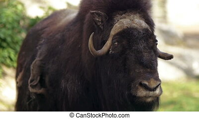Musk Ox - Muskox in Moscow zoo