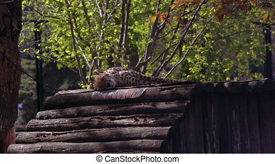 Cheetah resting in the Moscow zoo
