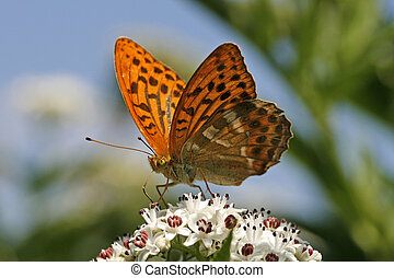 Lady\'s Mantle, (Argynnis paphia) Silver-washed Fritillary,...