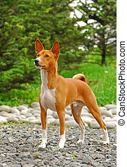 The Basenji is a breed of hunting dog that was bred from...