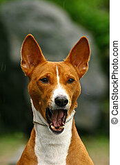 The Basenji is a breed of hunting dog that was bred from stock originating in central Africa. Most of the major kennel clubs in the English-speaking world place the breed in the Hound Group; more spec