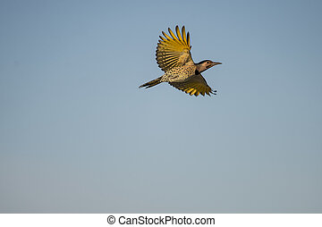 Northern Flicker - Yellow-shafted Northern Flicker spreads...