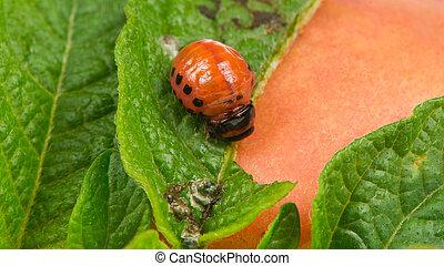 Colorado Potato Beetle Larva Eating Potato Leaf - A close-up...