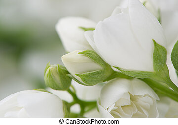 Beautiful White Jasmine Flowers Macro - A macro shot of...
