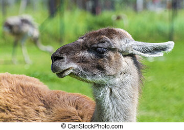Guanaco (Lama guanicoe) - Portrait of an adult Guanaco (Lama...