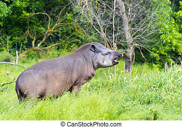 Lowland tapir (Tapirus terrestris) male is grazing grass