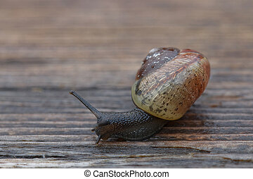 Small snail gliding on wood - Small snail with dark body...