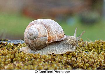 Snail on green moss - Snail gliding over green moss. Latin...