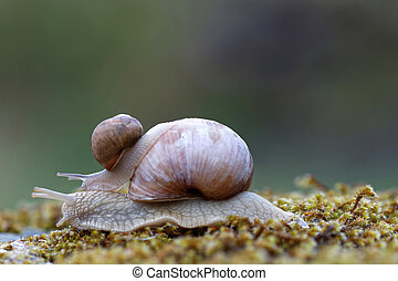 Snail on top of a snail on green moss - Baby snail...