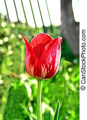 Motley tulip - Red and white motley tulip on a blurred...
