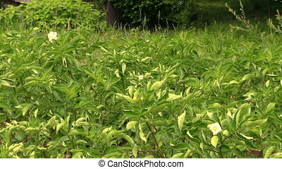 potato plant protection - Potato plant leaves and farmer...