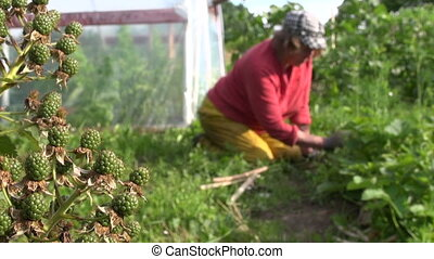 granny weed garden - unripe blackberry bush branch with...