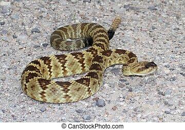 negro-atado, serpiente de cascabel, (Crotalus, molossus),