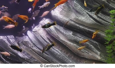 Freshwater Fish Tank - Fresh water fish in aquarium tank...