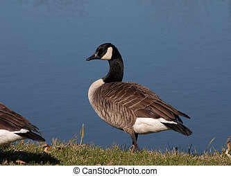 Wild Goose - Wild goose by the lake on a sunny day