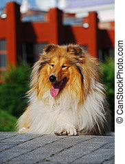 A collie is a distinctive type of herding dog, ultimately...