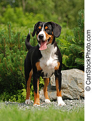 The Appenzeller Sennenhund is a medium-size breed of dog,...