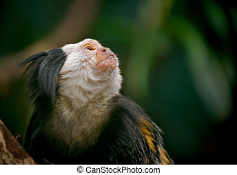 White faced Capuchin monkey (Cebus)