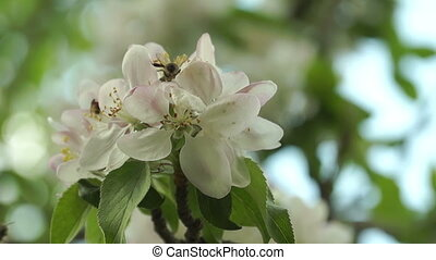 Few Bees Pollinating Spring Flowers Apple Macro Shooting