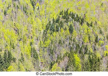 abete, fondo, albero