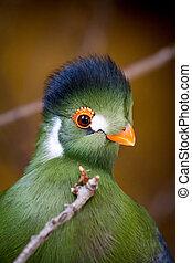 feral parakeet up close