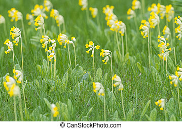 Field of yellow Cowslip flowers or Primula veris, Sweden