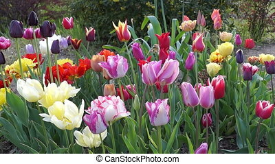Colorful Tulips in the Spring Garde - Several Different...