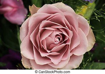Purple rose close up - Purple rose in close up: rose in a...