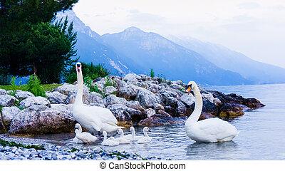 swan family. Garda lake landscape, Italy. Riva del Garda