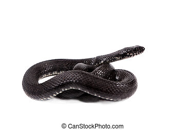 Dice snake, Natrix tessellata, on white - Dice snake, Natrix...