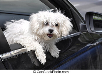 maltese dog - vygllyadyvayuschaya maltese dog from a car...