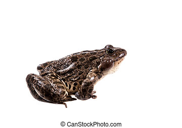 Marsh Frog on white, Pelophylax ridibundus - Marsh Frog...