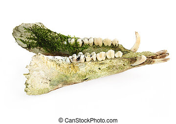 dead animal bone - Lower jaw of a boar found in the forest...