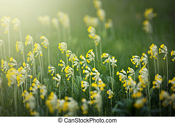 Cowslip or Primula veris flowers in mass at a grass field