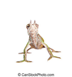 Boehmes chameleon, kinyongia boehmei, on white - Boehmes...