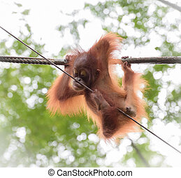 Baby orangutang in a funny pose hanging on a rope