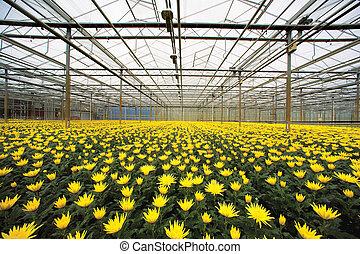 greenhouse - yellow chrysanthemums in greenhouse