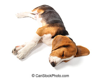 Sleeping Beagle dog isolated on white