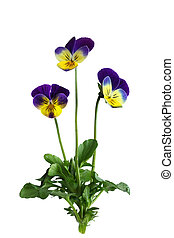Pansy Flower Plant - Single pansy flower plant isolated on...
