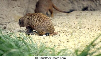 meerkat - suricate, small mammal in its habitat