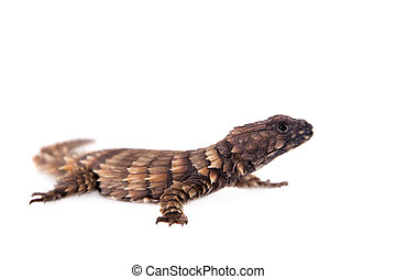 The armadillo girdled lizard on white - The armadillo...