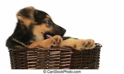 Shepherd puppy in a straw basket