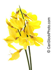 Common broom - Common broom on a white background